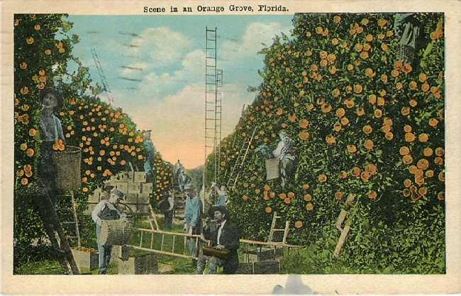 Orange Grove Florida 1919