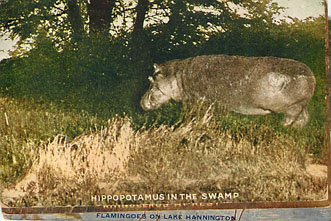 Hippopotamus in the Swamp -Hunting Postcard - Roosevelt Tour