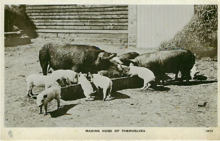Making Hogs of Themselves - Piglets at Trough with Pigs