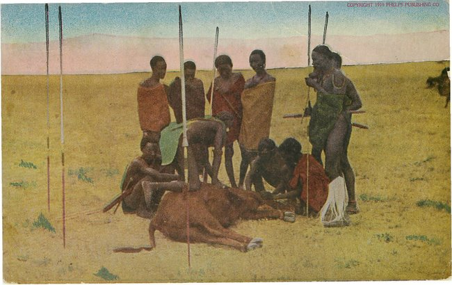 No. 26 Masai Killing Cattle postcard