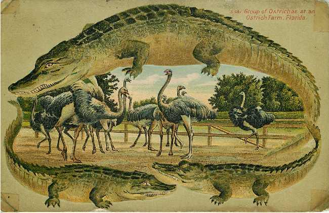Alligator Border Ostriches Florida Postcard