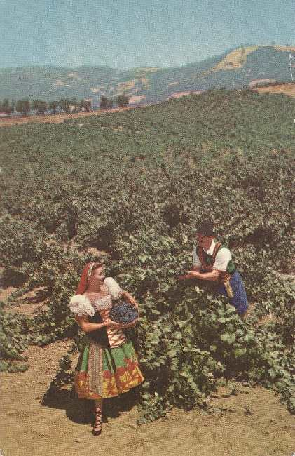 Alcohol Postcard - Italian Swiss Colony Vineyard