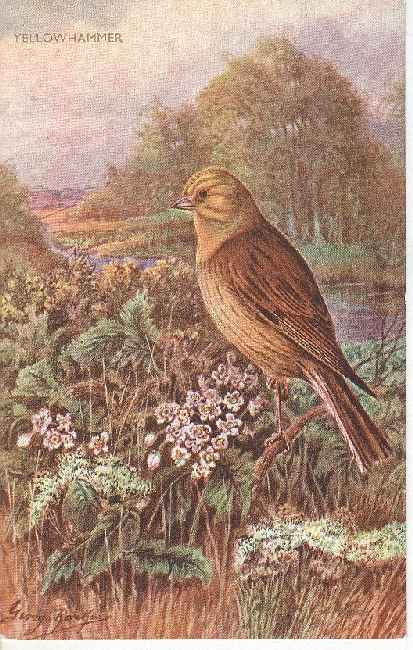 SIGNED BIRD POSTCARD YELLOWHAMMER Salmon Series