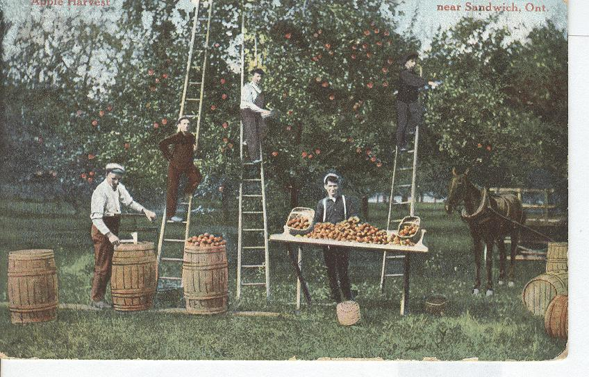 Apple Harvest near Sandwich, Ont.