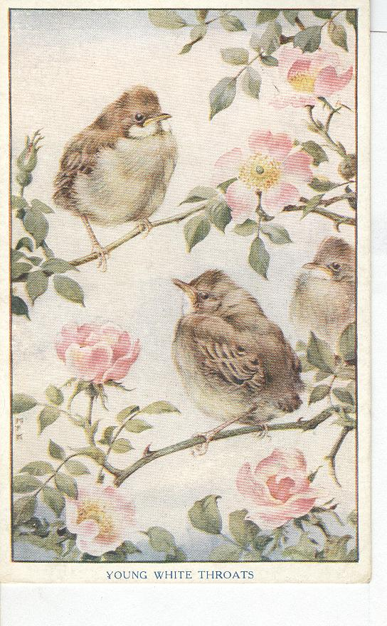 Animal Postcard - Birds...young White Throats