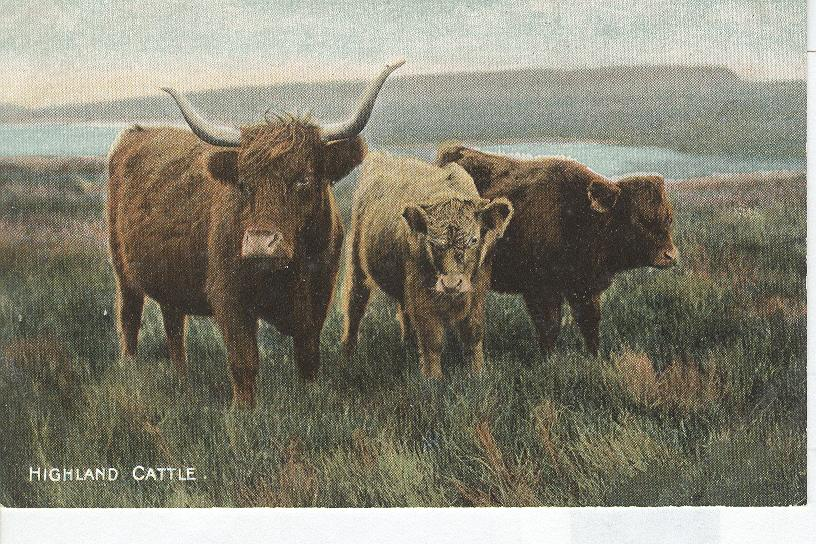 Animal Postcard - Highland Cattle...Bull With Two Cows