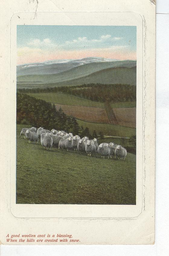 Herd of Sheep in The Pasture