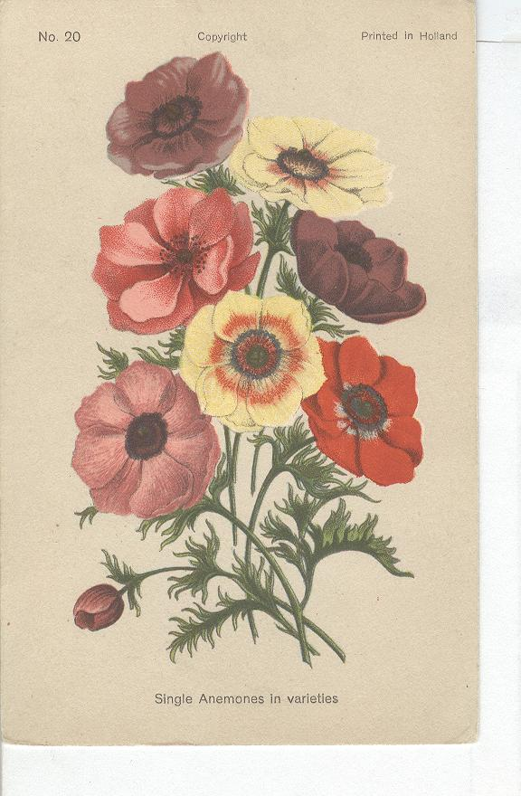 Single Anemones in Variety - Postcard